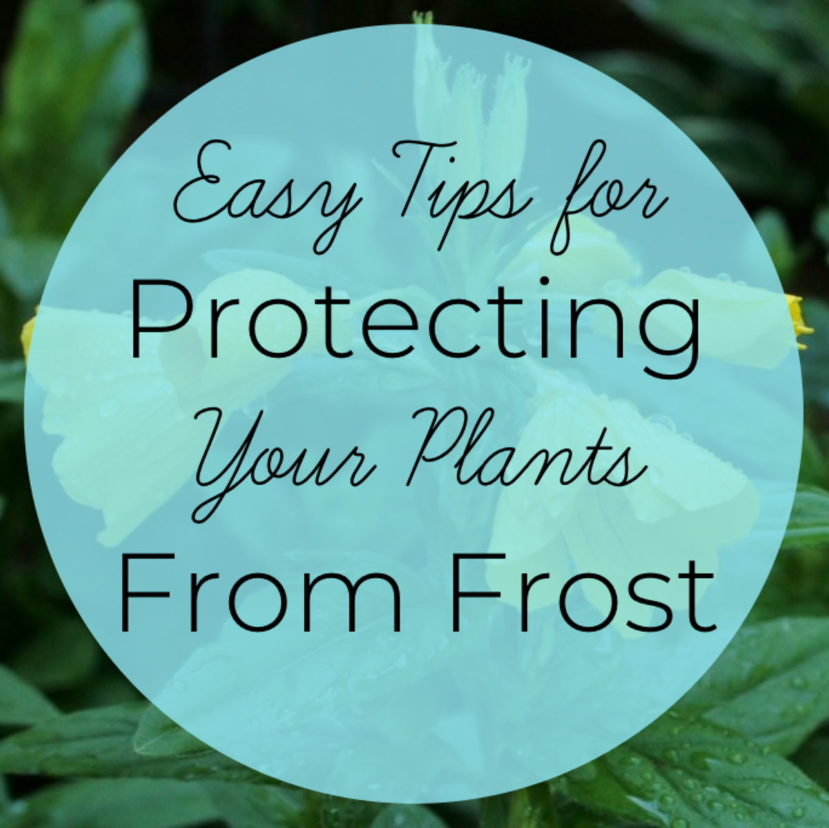 From watering before a cold snap to using cloths to cover your plants, this article will share with you 10 easy ways to help protect your plants from the ravages of frost.