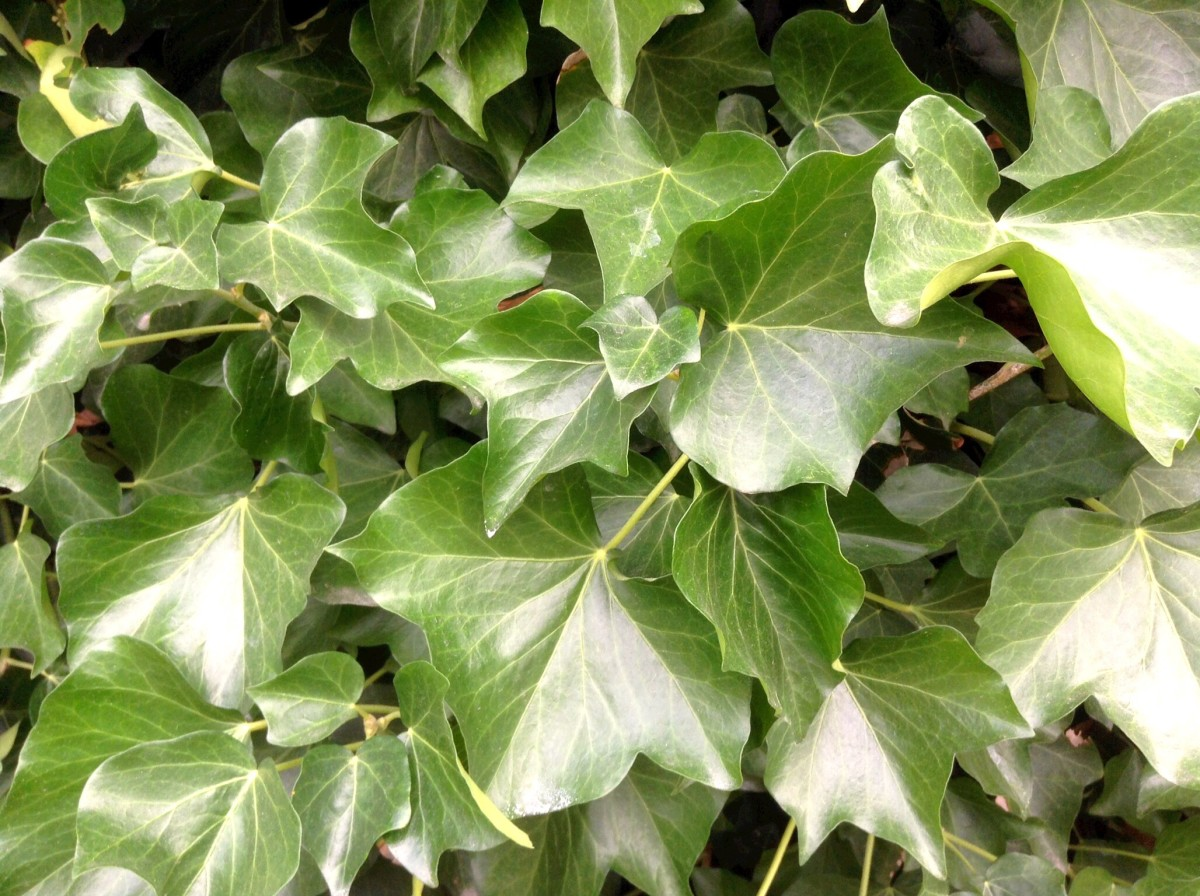 These are the juvenile leaves of English ivy. The plant may provide an effective and safe sunscreen containing nanoparticles.