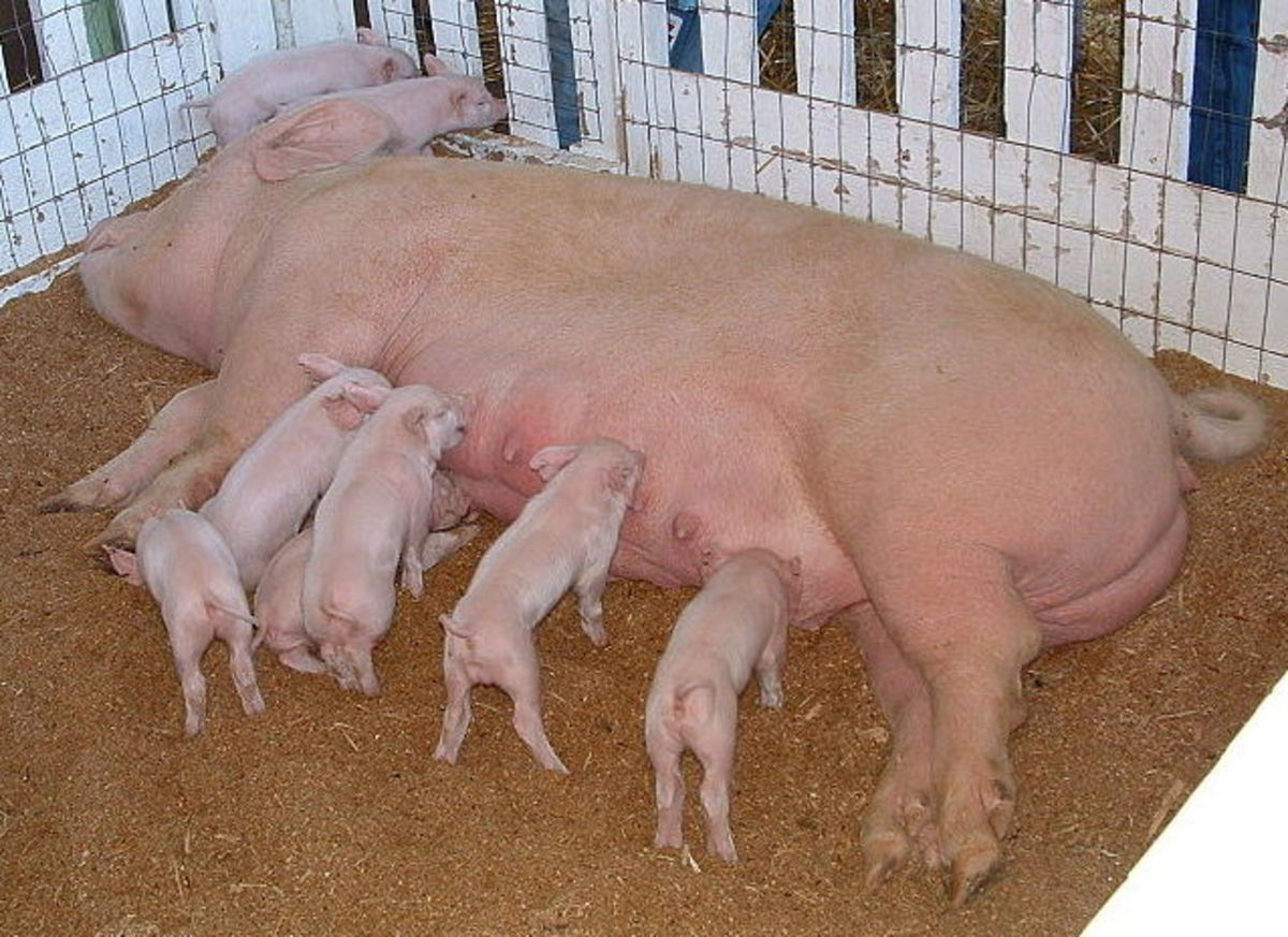 Types of Hog Pens: Pig Pens From Farrowing to Finishing