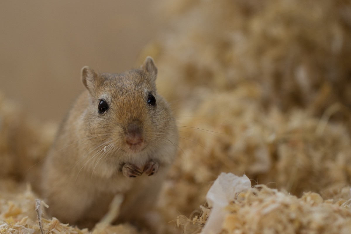How to Care for Gerbils With Broken Teeth