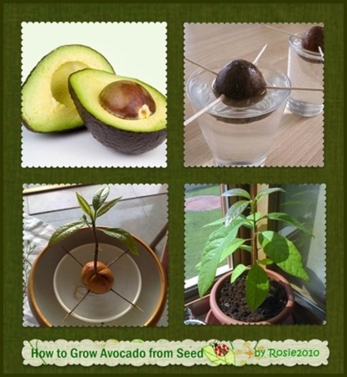How to grow avocado from seed or pit dengarden for How do you grow an avocado seed
