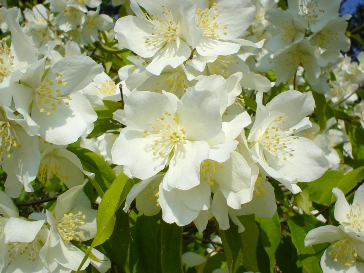 Jasmine is frequently used in perfumes, essential oils, teas, and cosmetics.