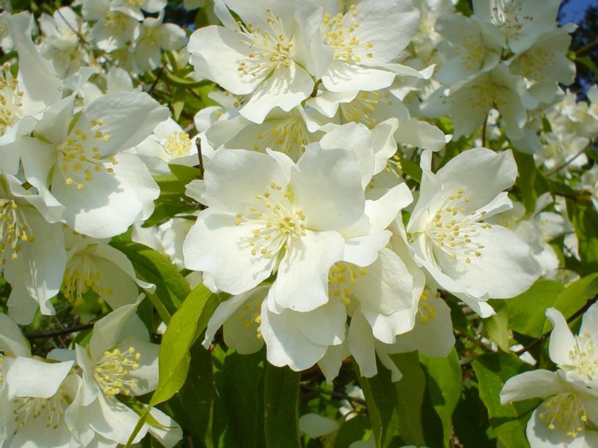 3 of the best gorgeous jasmine perfumes for women bellatory izmirmasajfo Gallery