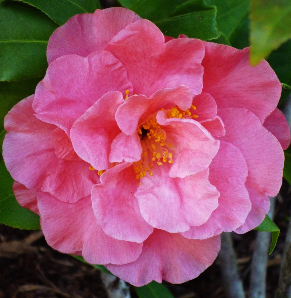 Camellia blossom in our landscaping.