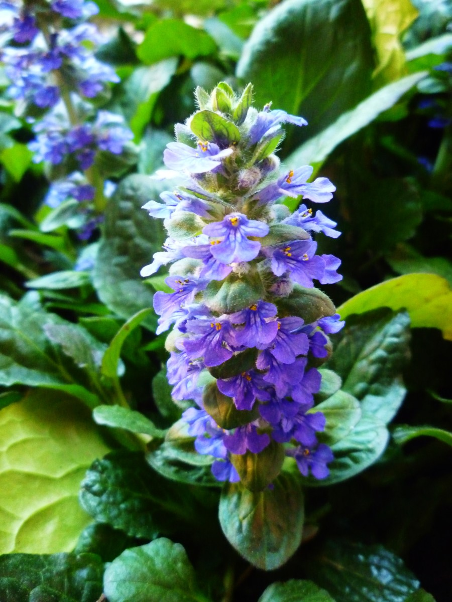 Ajuga ground cover plant value for the home gardener - A gardener is planting two types of trees ...