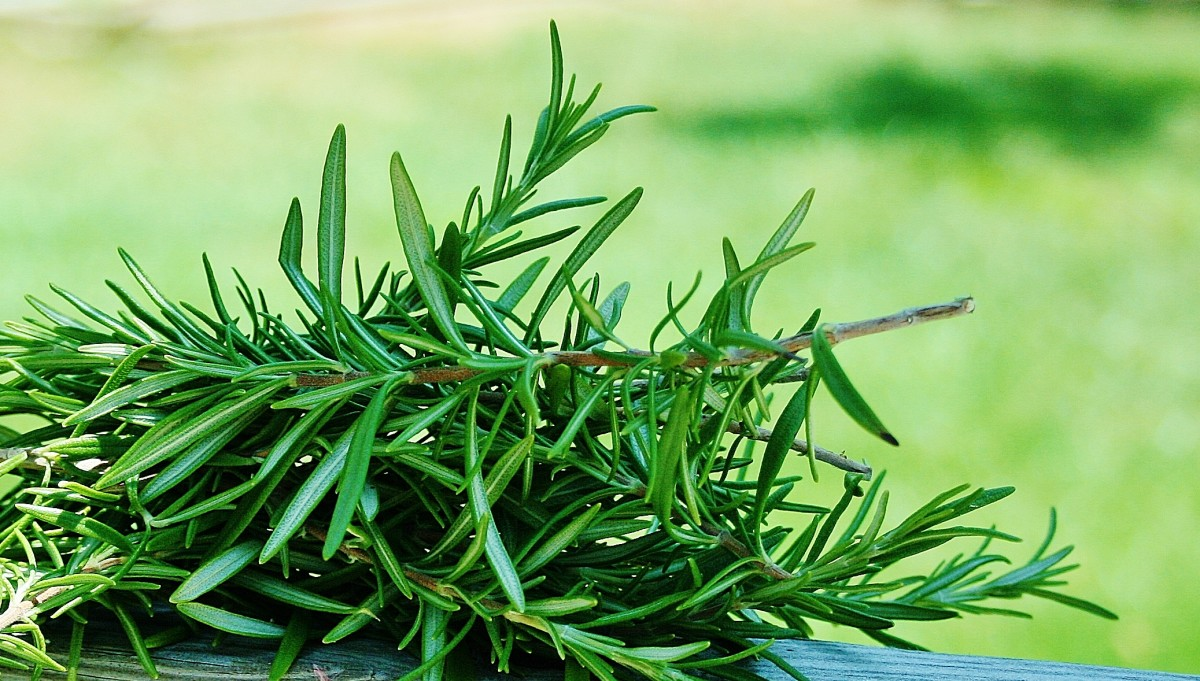 Candied Rosemary, a Sweet Garden Treat