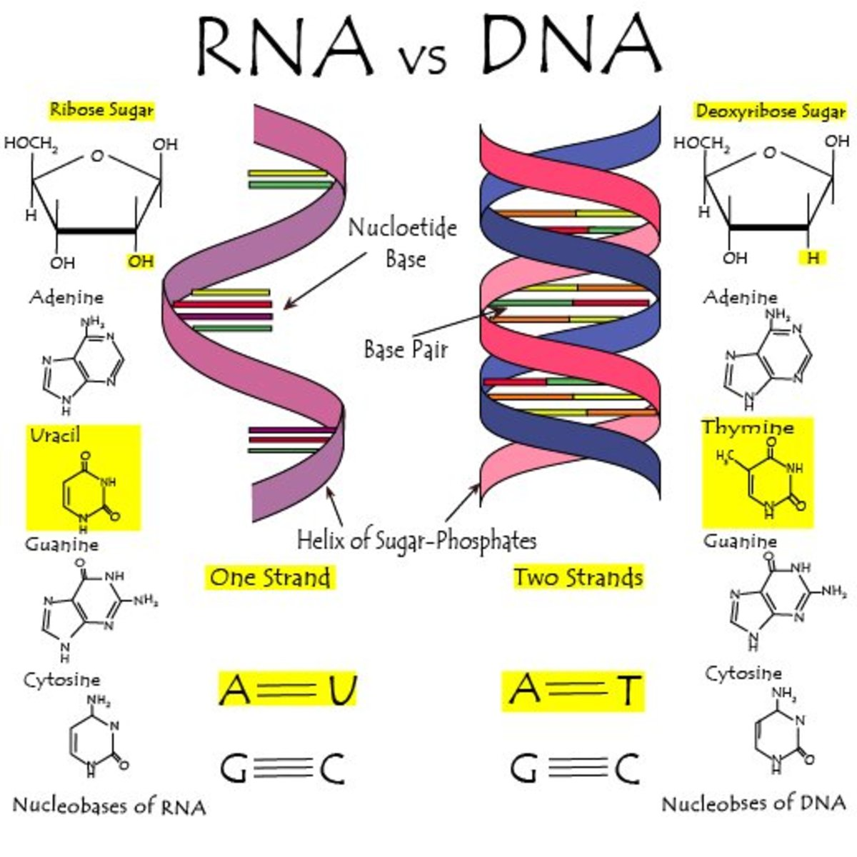 Difference between DNA and RNA.