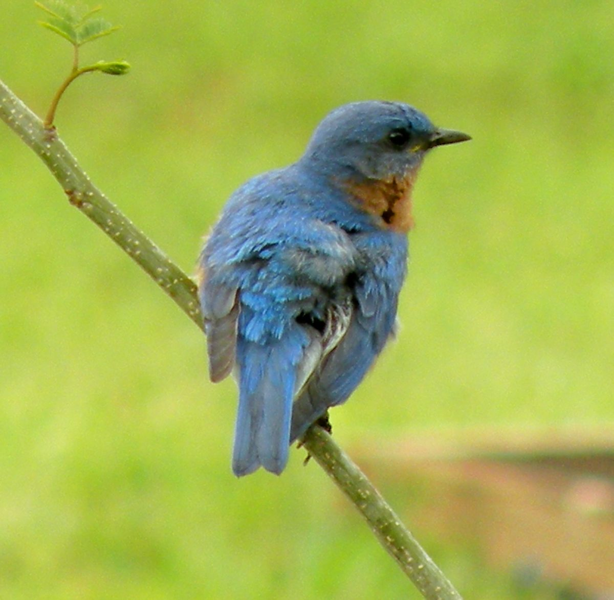 The male bluebird guards his territory from a nearby branch.