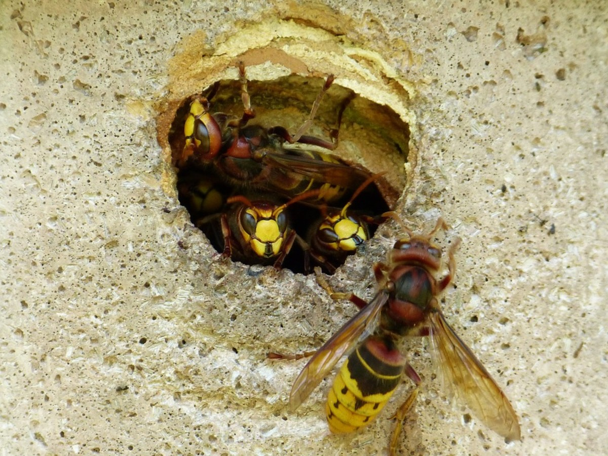 Natural Way To Get Rid Of Yellow Jackets