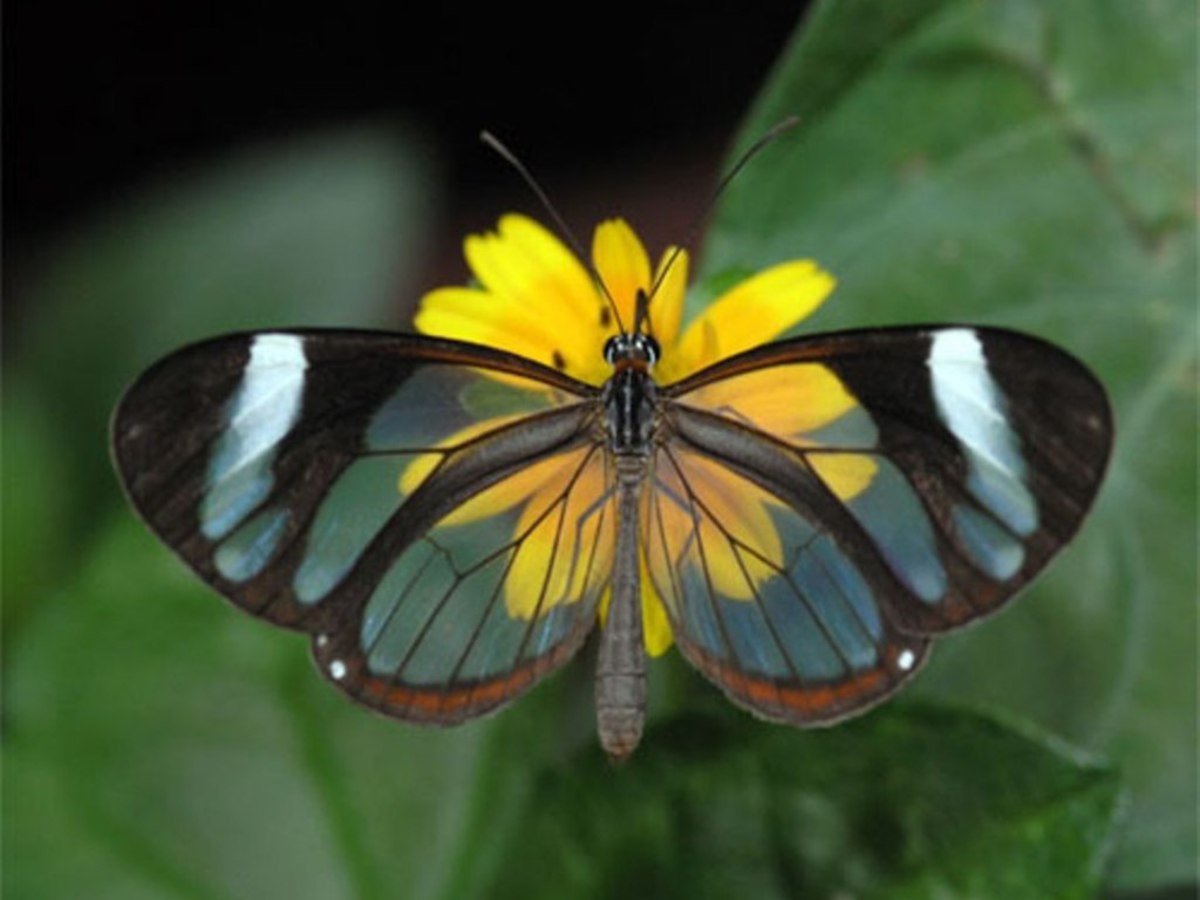 Yes, this beautiful butterfly is real! It is known as a Glasswing Butterfly and you can find out more about why its wings are transparent below!