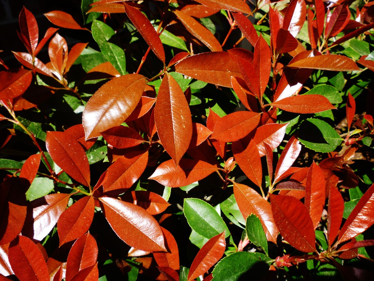 Picture of the red-tipped photinias in our garden in the Spring of the year.
