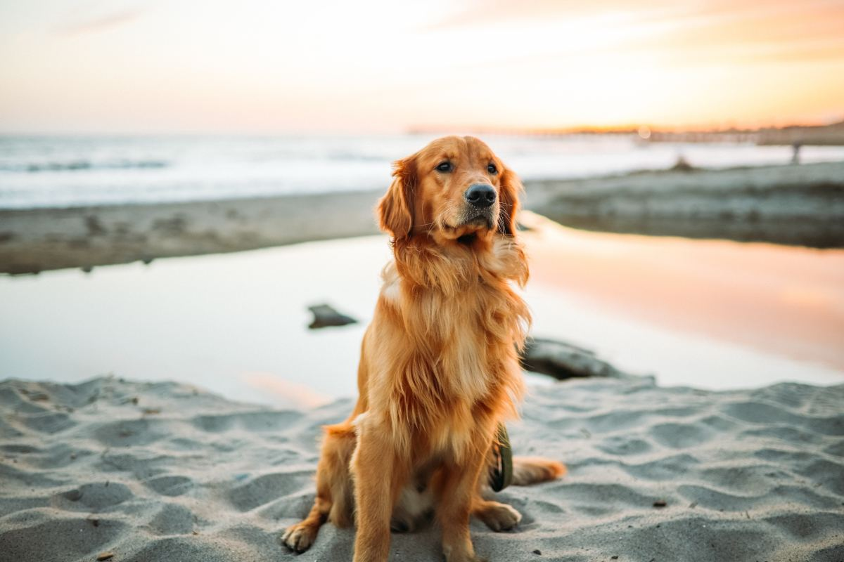 Goldens can make wonderful companions, but only for those who are ready to take the plunge.