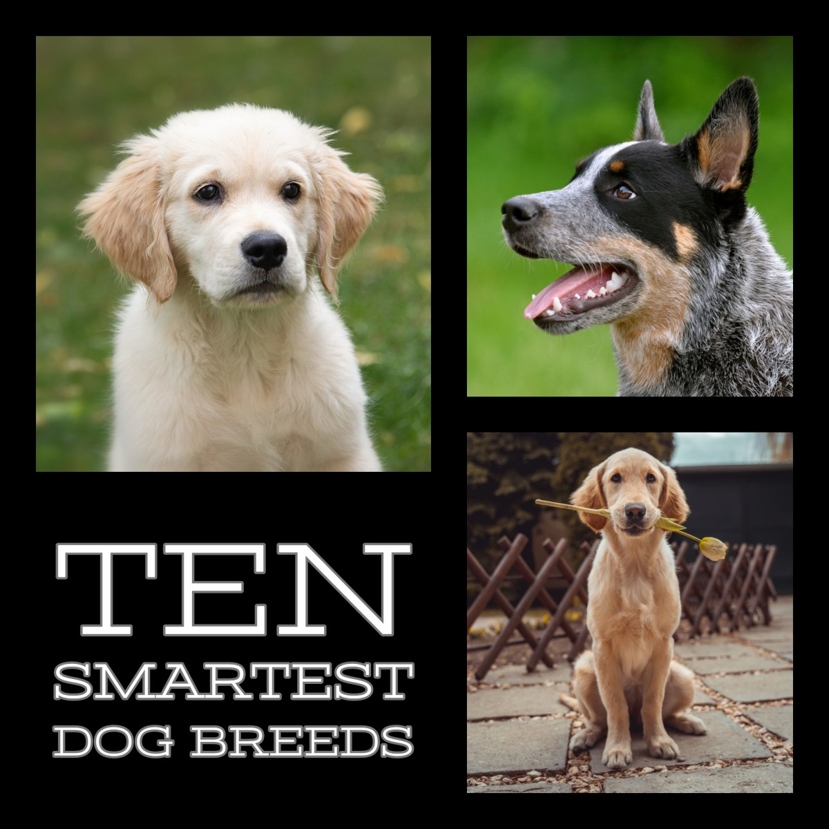 The ten smartest dog breeds. Pictured above is the Australian Cattle Dog, Labrador Retriever, and Golden Retriever.