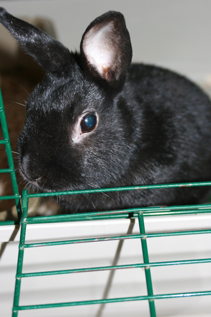 Bringing Home Your First Pet Rabbit