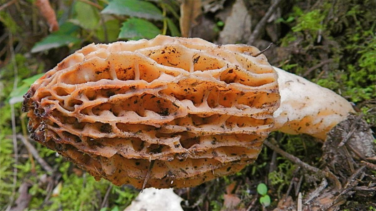 Tips for Hunting Morel Mushrooms