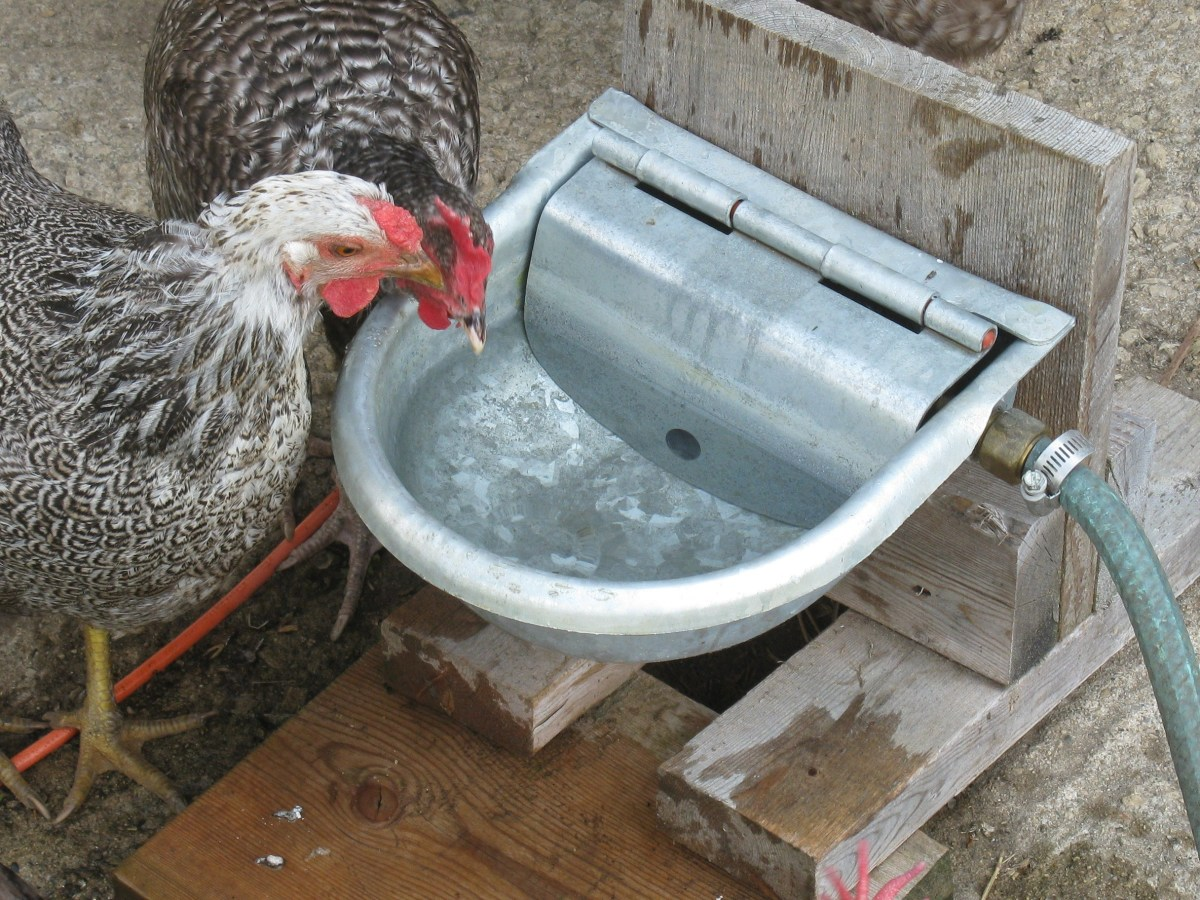 Silver Pencilled Wyandotte and Cuckoo Marans Hens Drinking from a Home-Made Automatic Waterer
