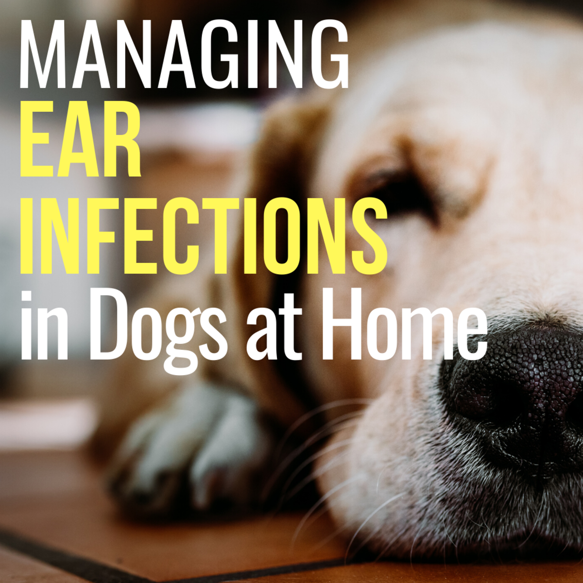 How to Treat a Dog's Ear Infection When You Can't See a Vet