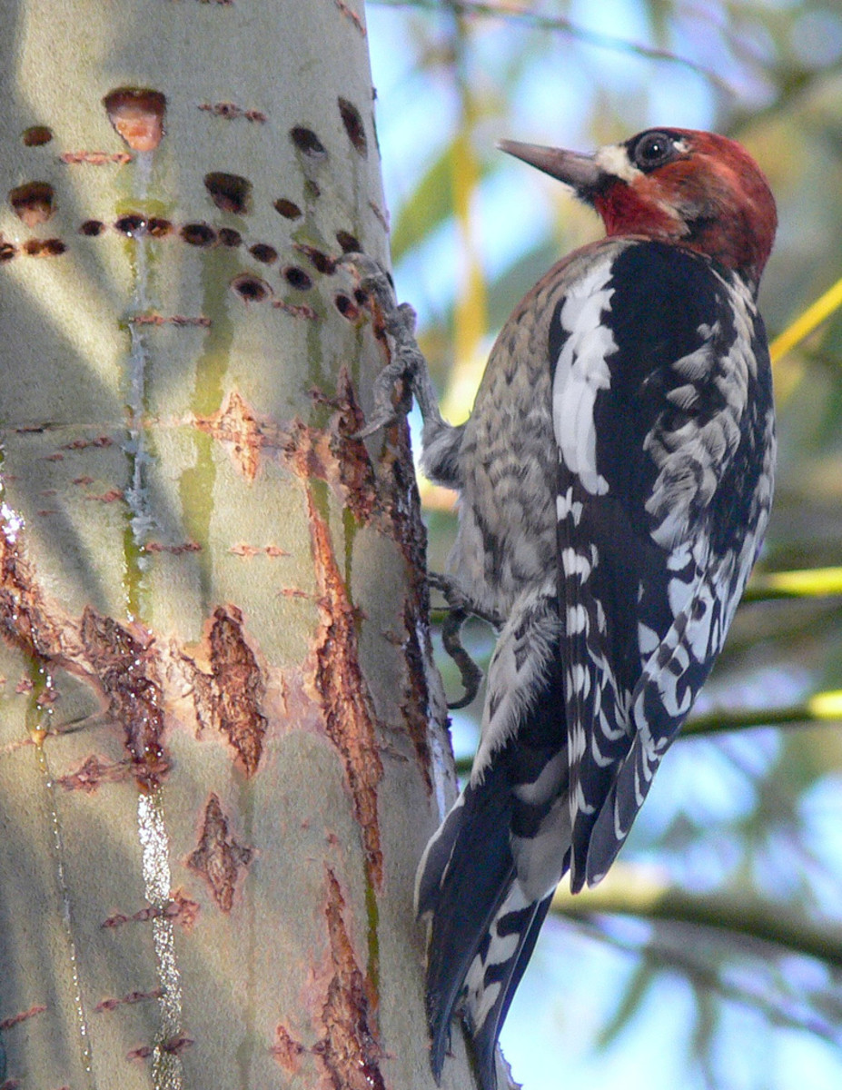 The Woodpecker's Amazing Physical Characteristics