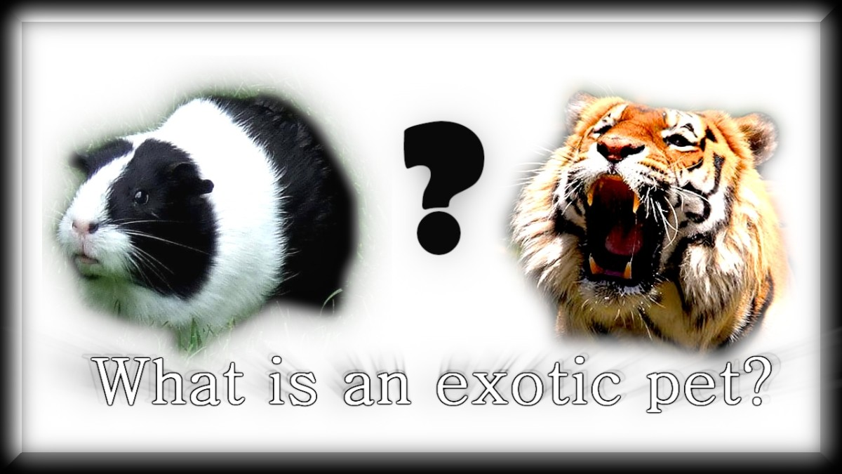 What Is an Exotic Pet?