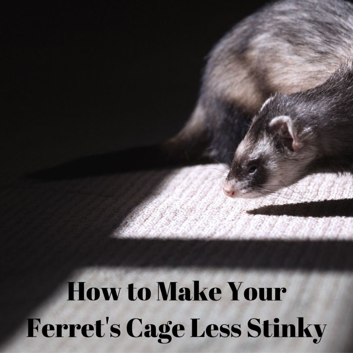 Learn five tips and tricks for minimizing the smell of your ferret's cage!