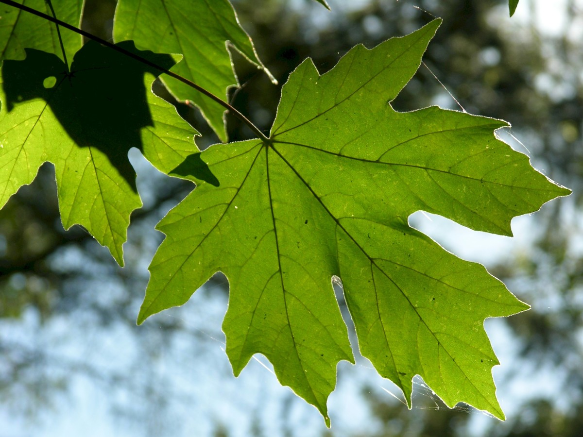The big-leaf maple tree leaves are huge. They start out green, like the ones shown here. In autumn, the leaves turn to shades of yellow, orange, and gold.