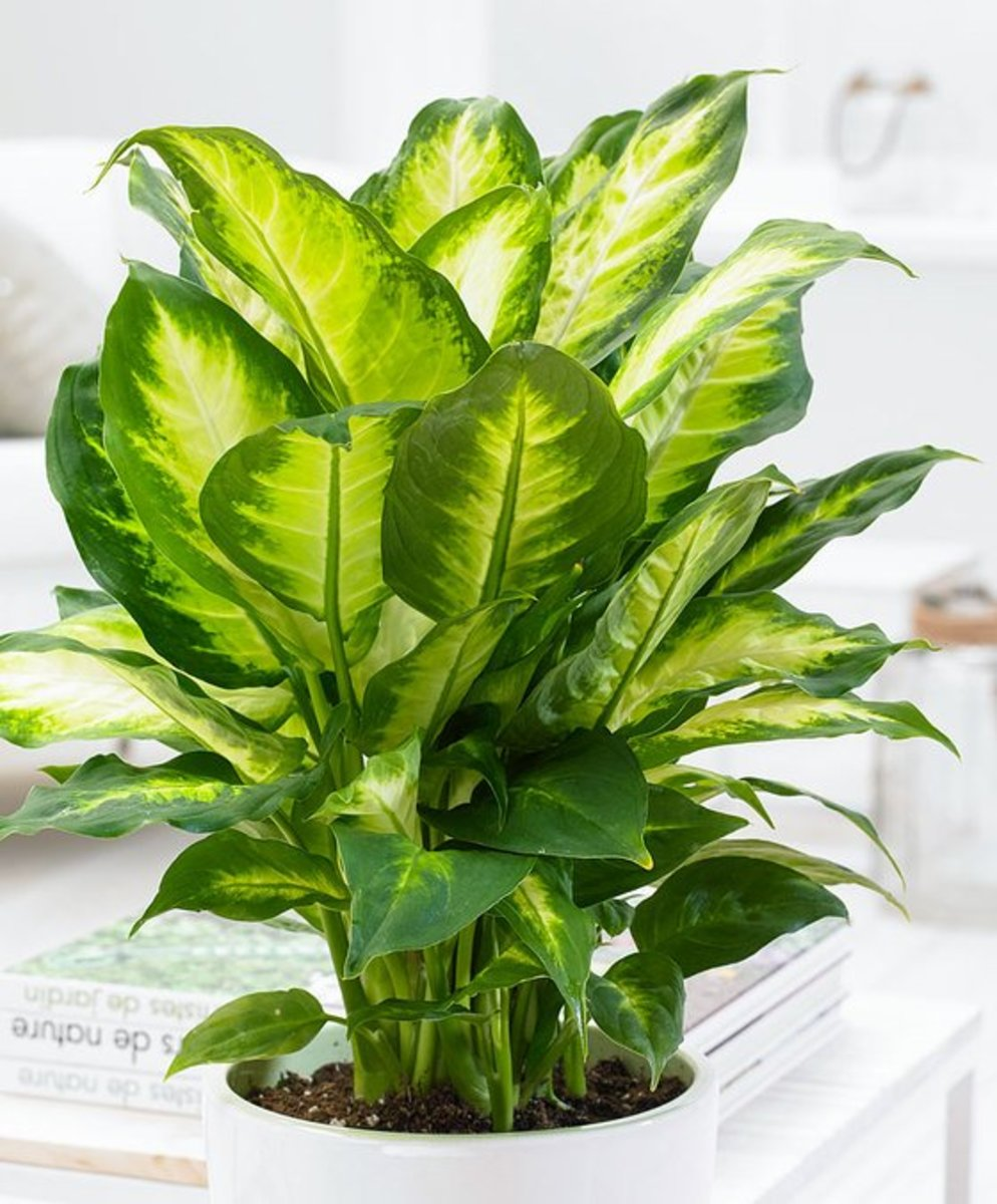 Dieffenbachia camilla is one of the most popular of these houseplants with distinctive white/cream leaves edged in green.  It originated in  South America.