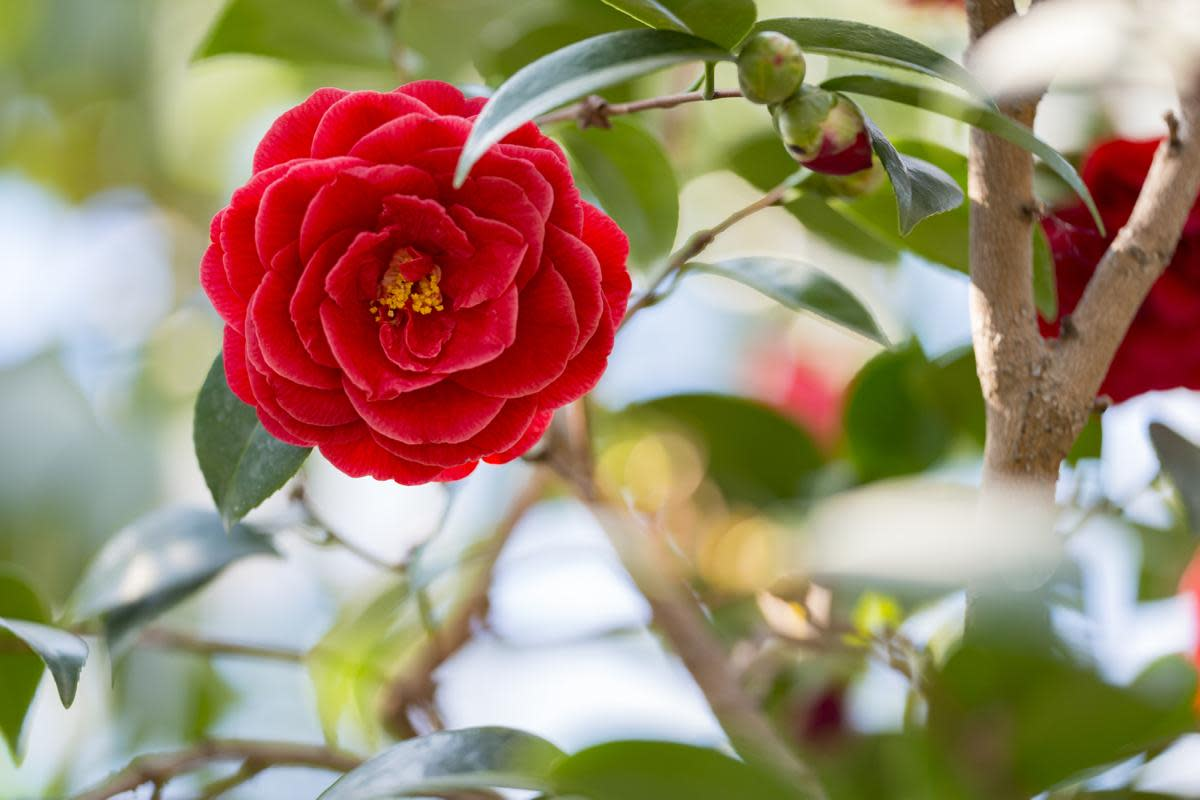 Who wouldn't want to clone this gorgeous camellia, a symbol of perfection?