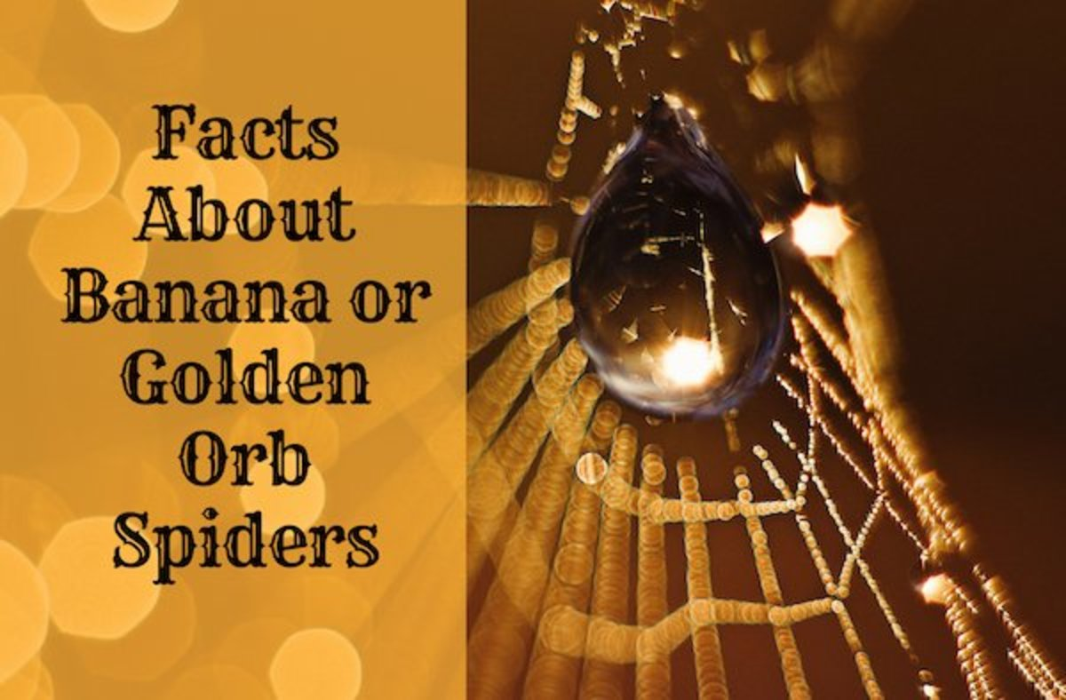 Facts About Banana or Golden Orb Spiders