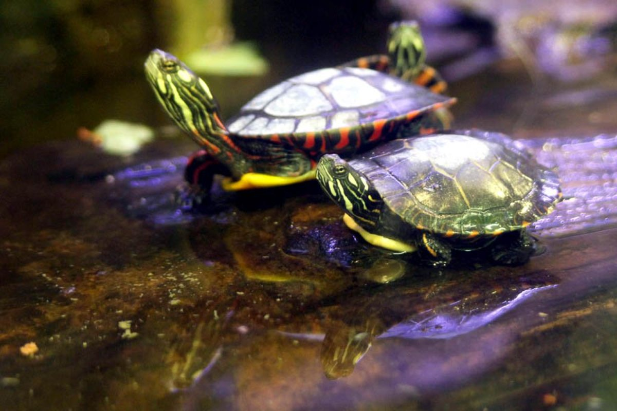 There's a lot of false information about pet turtles that needs to be corrected.