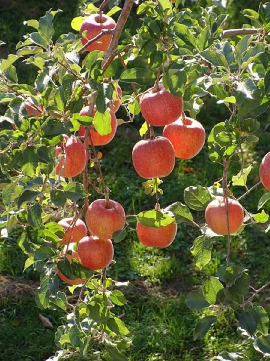 How To Grow Fuji Apple Trees Dengarden Home And Garden