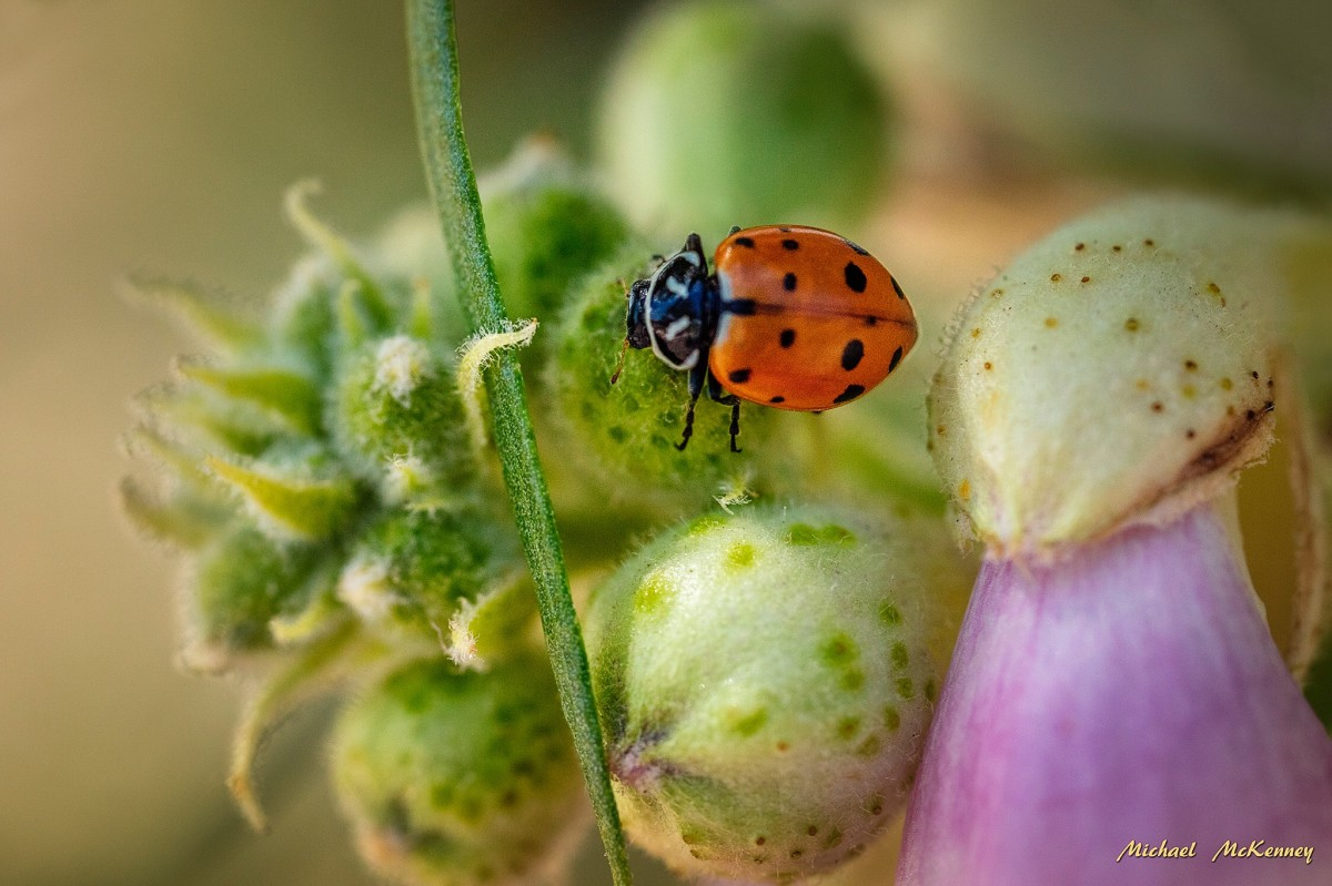 Ladybugs can eat a whole lot of aphids, so let them do their thing.  They won't harm your plants.