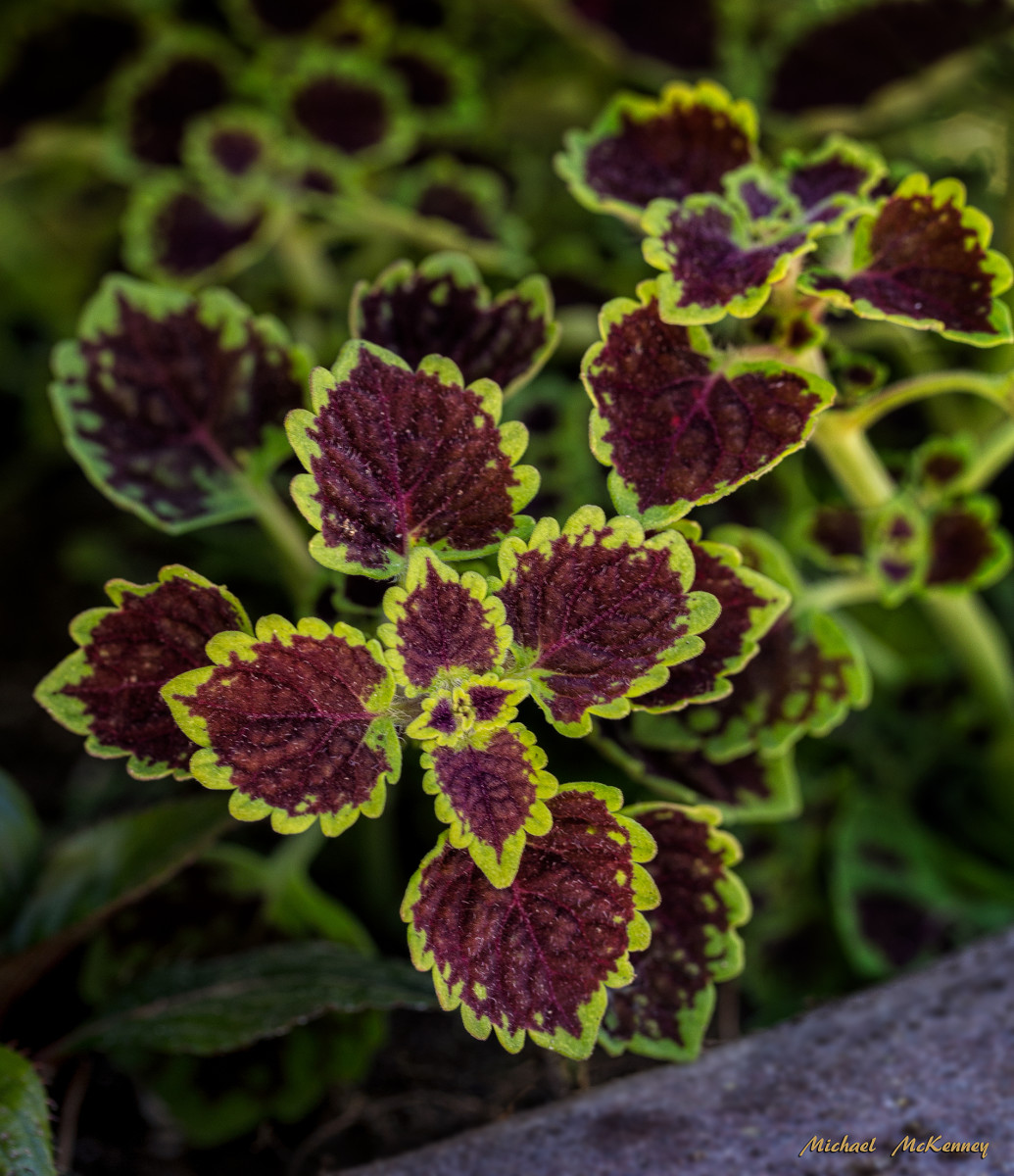 Coleus, a great, attention-getting plant indoors, as well as outdoors.