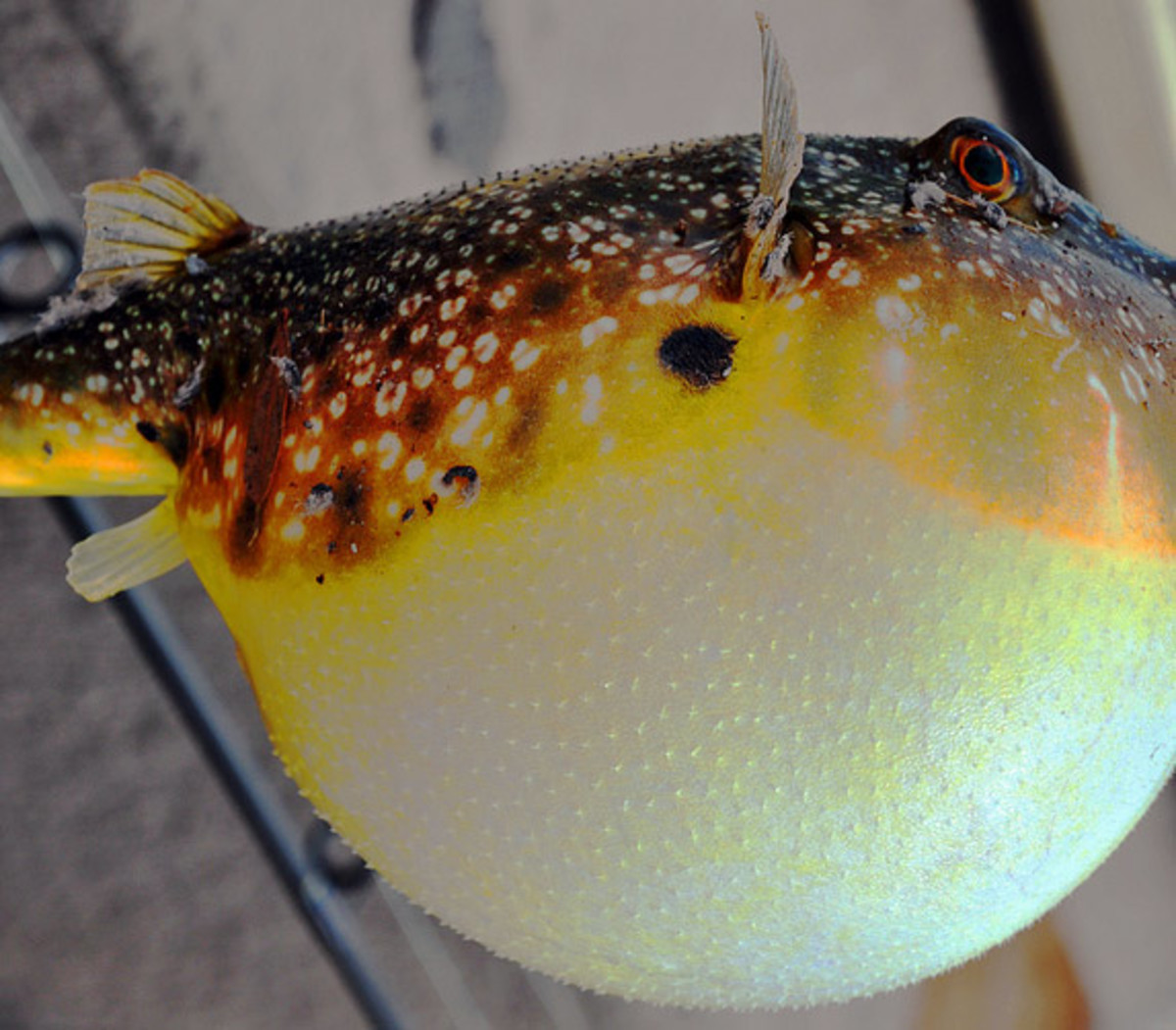 If you've ever been bloated, you'll understand how this puffer fish feels...