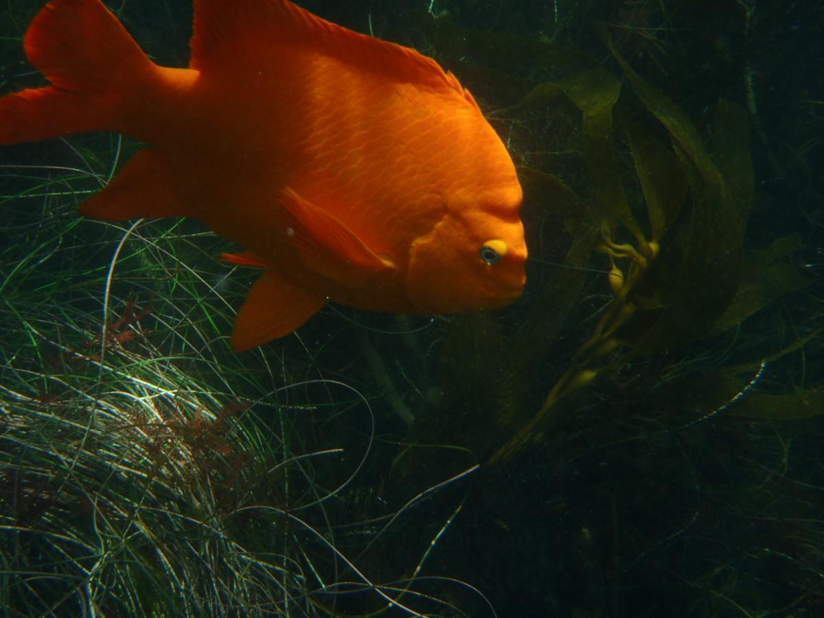 Garibaldi fish, La Jolla Cove