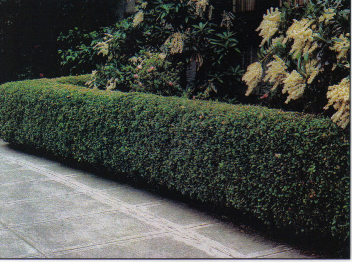 How To Care For a Peking Cotoneaster Hedge