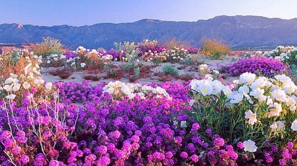 Verbena and Evening Primrose are the first bloomers on the desert floor.