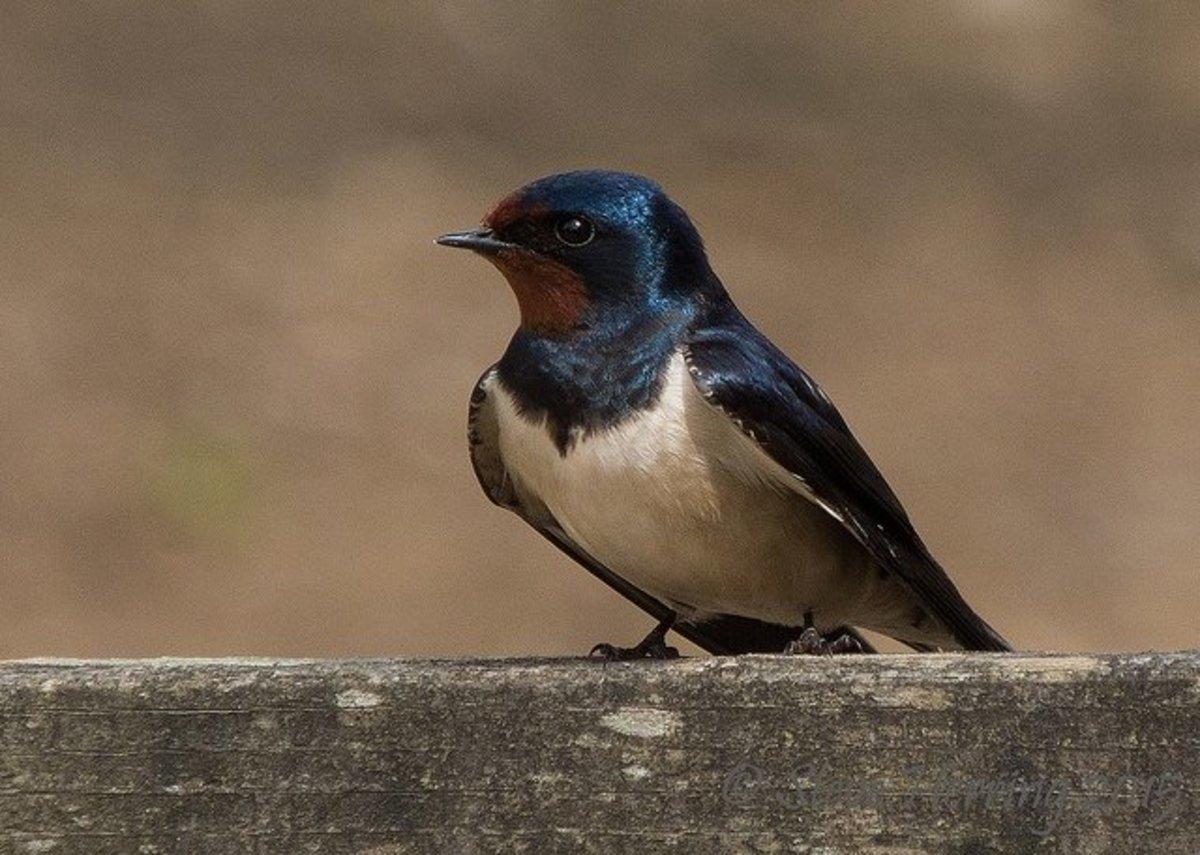 Barn Swallow