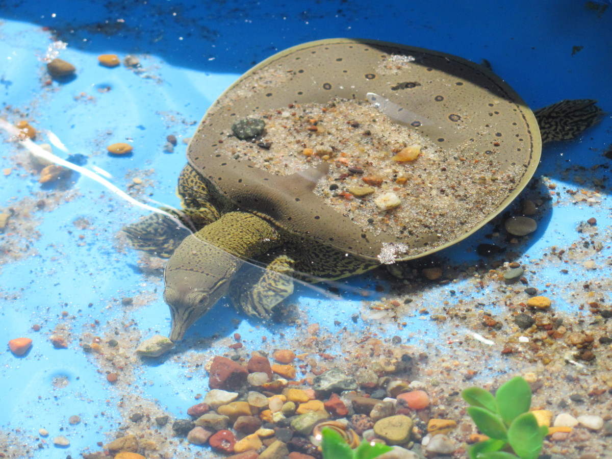 My softshell turtle in an outdoor kiddie pool setup.