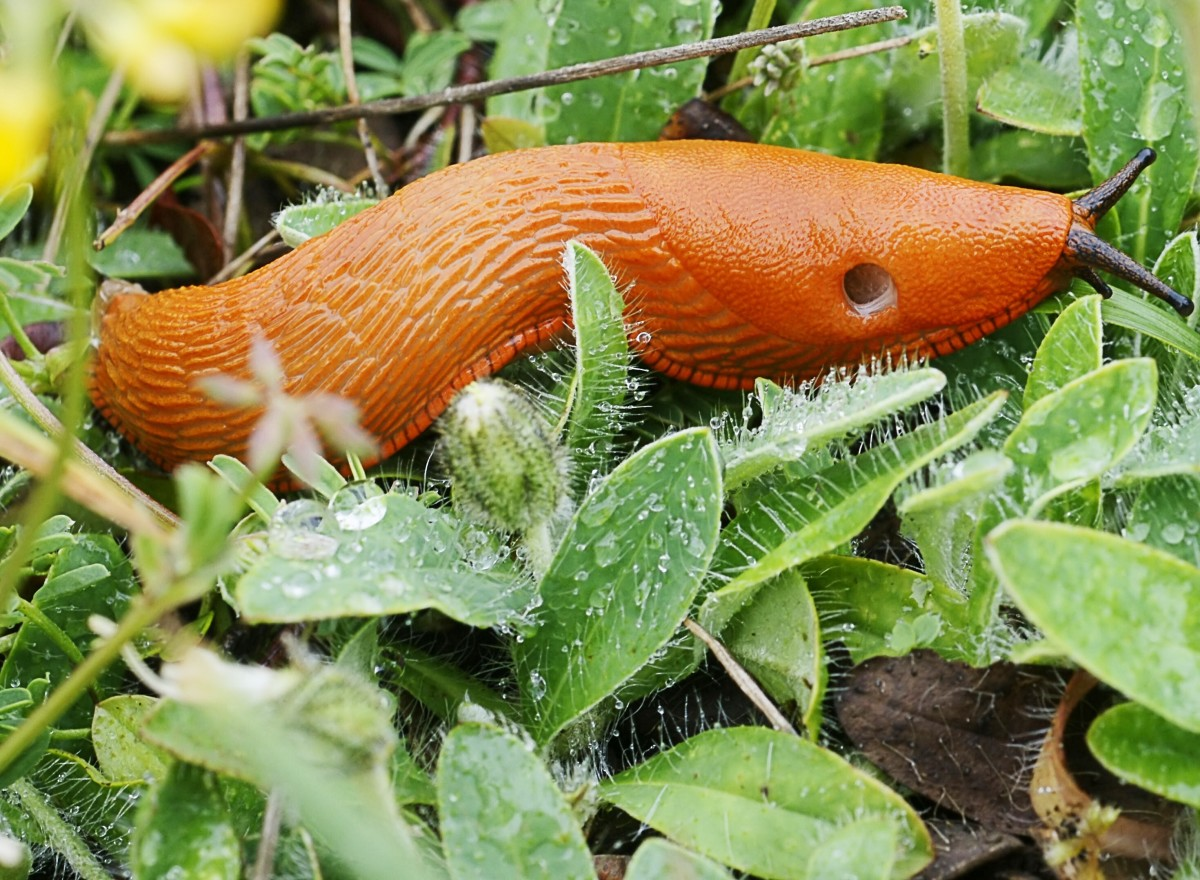 Arion rufus or the red slug