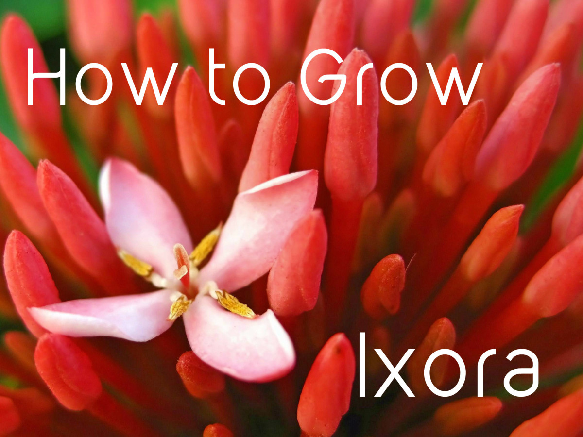 Ixora Facts and Growing Tips