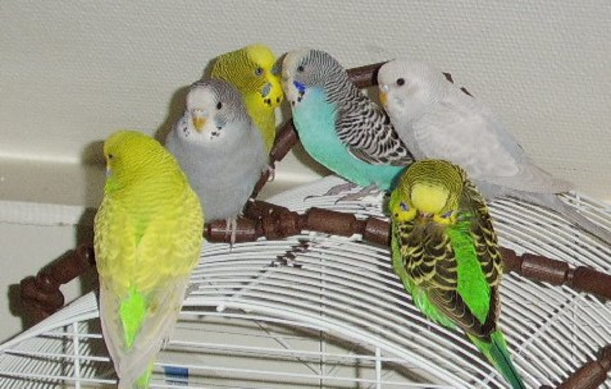 budgies-and-other-pets