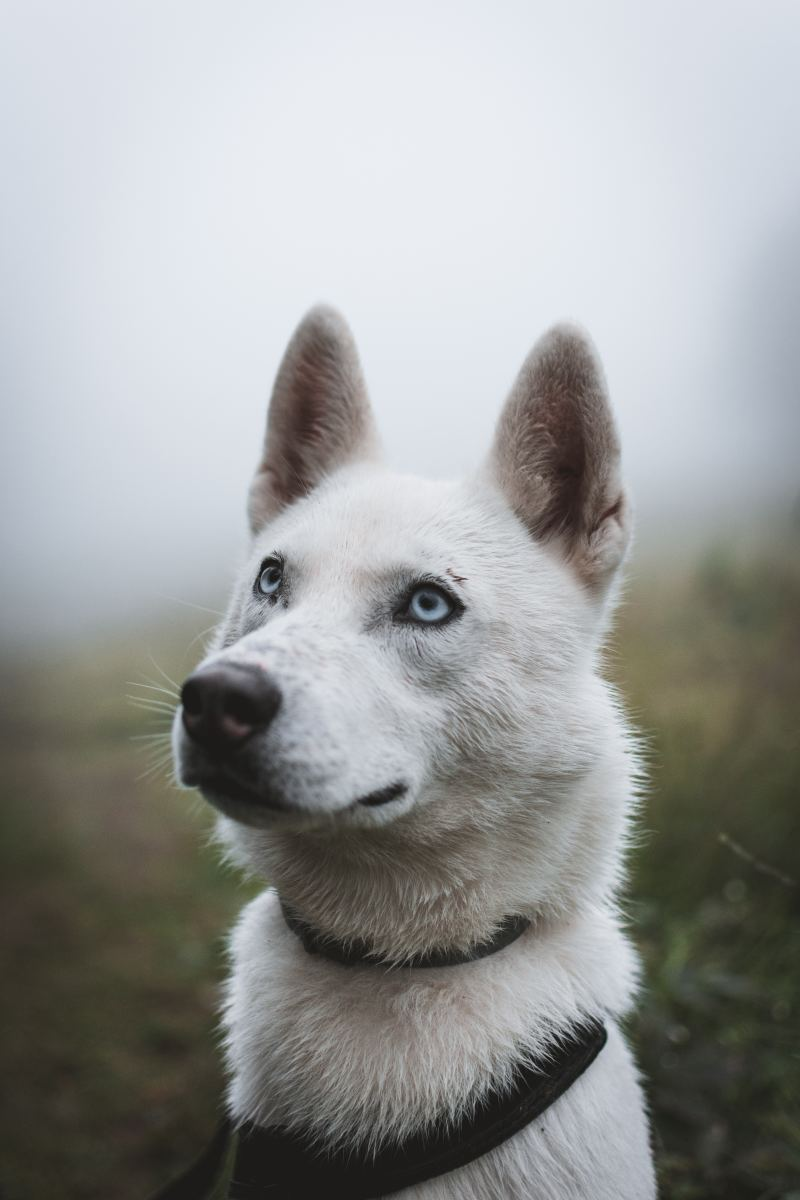 My Siberian Husky Guide Pethelpful
