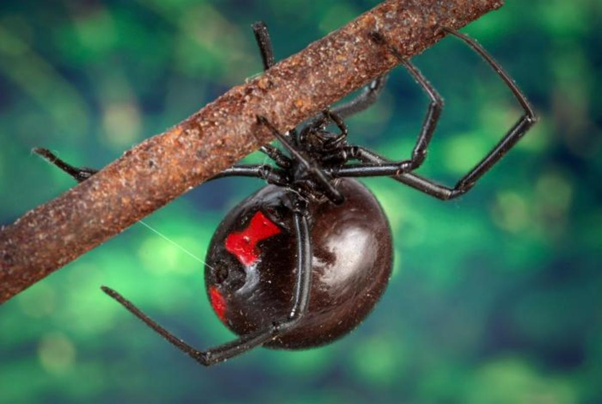 American Black Widow Spiders Bring Victory in World War I and II