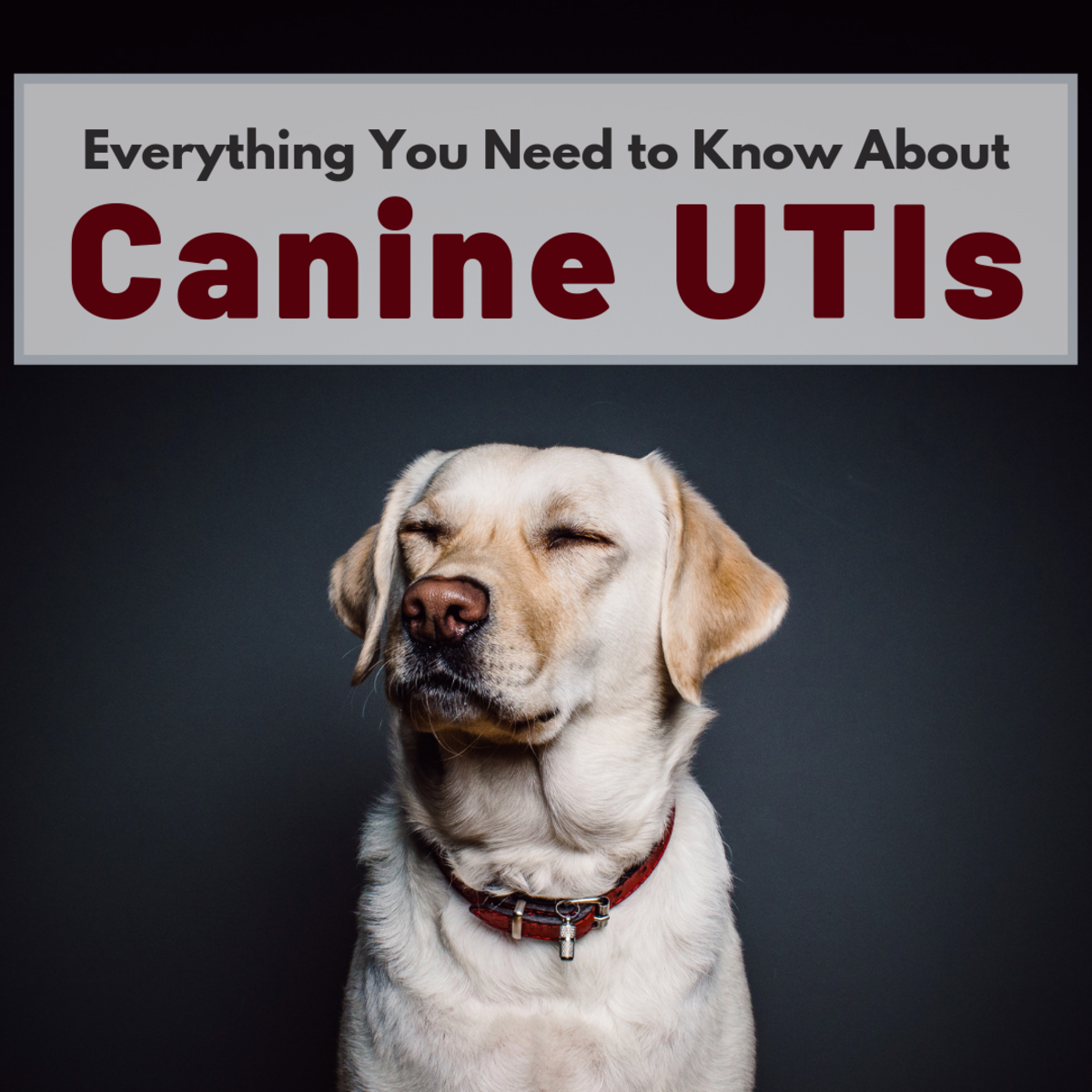 Urinary Tract Infections in Dogs: What You Should Know