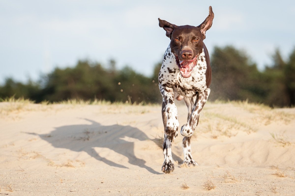 Pointers are high-energy, trainable, sweet sporting dogs.