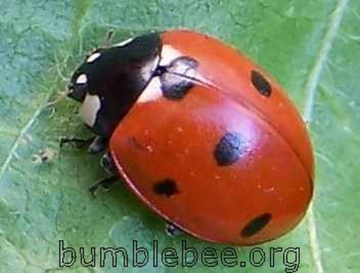 Where Have All the Ladybugs Gone?