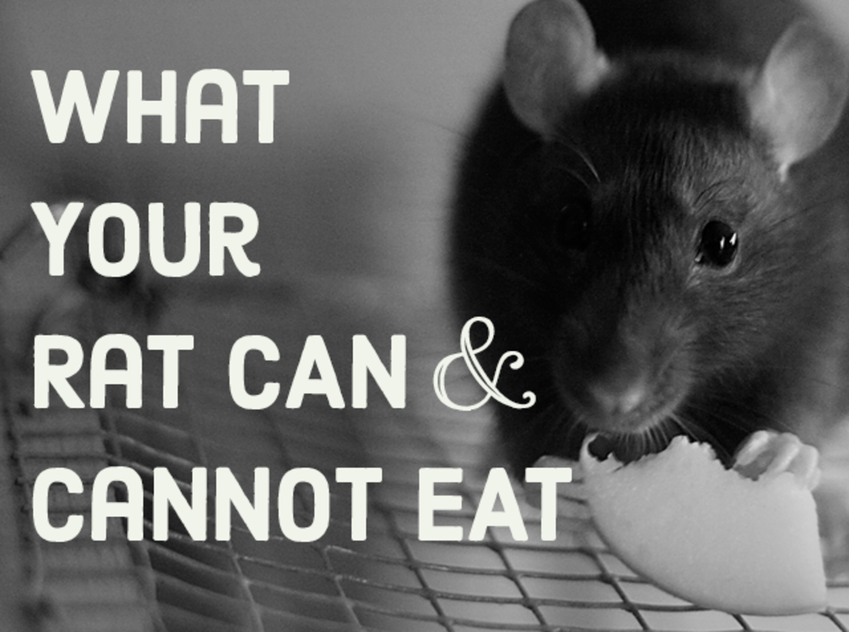 Learn which foods safe for your rat to eat and which are not.