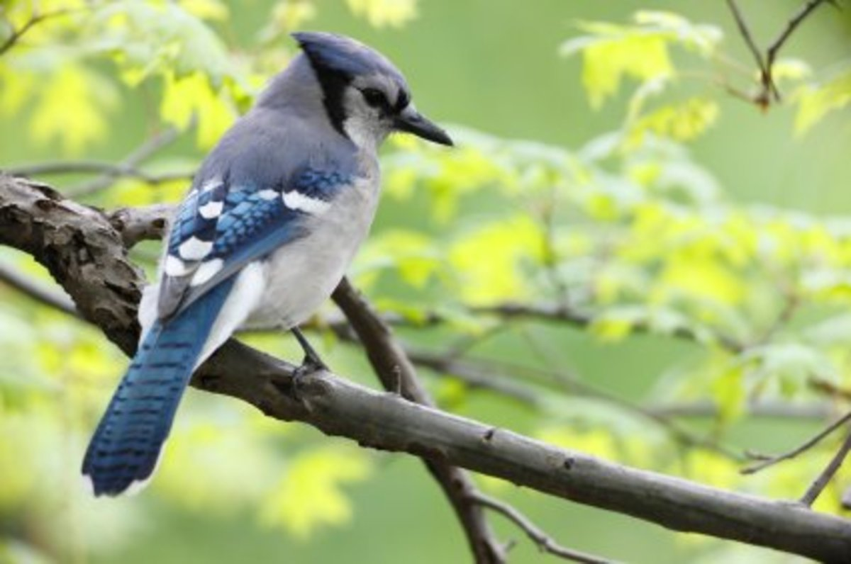 Blue Jays—Clever Mimics of the Bird World