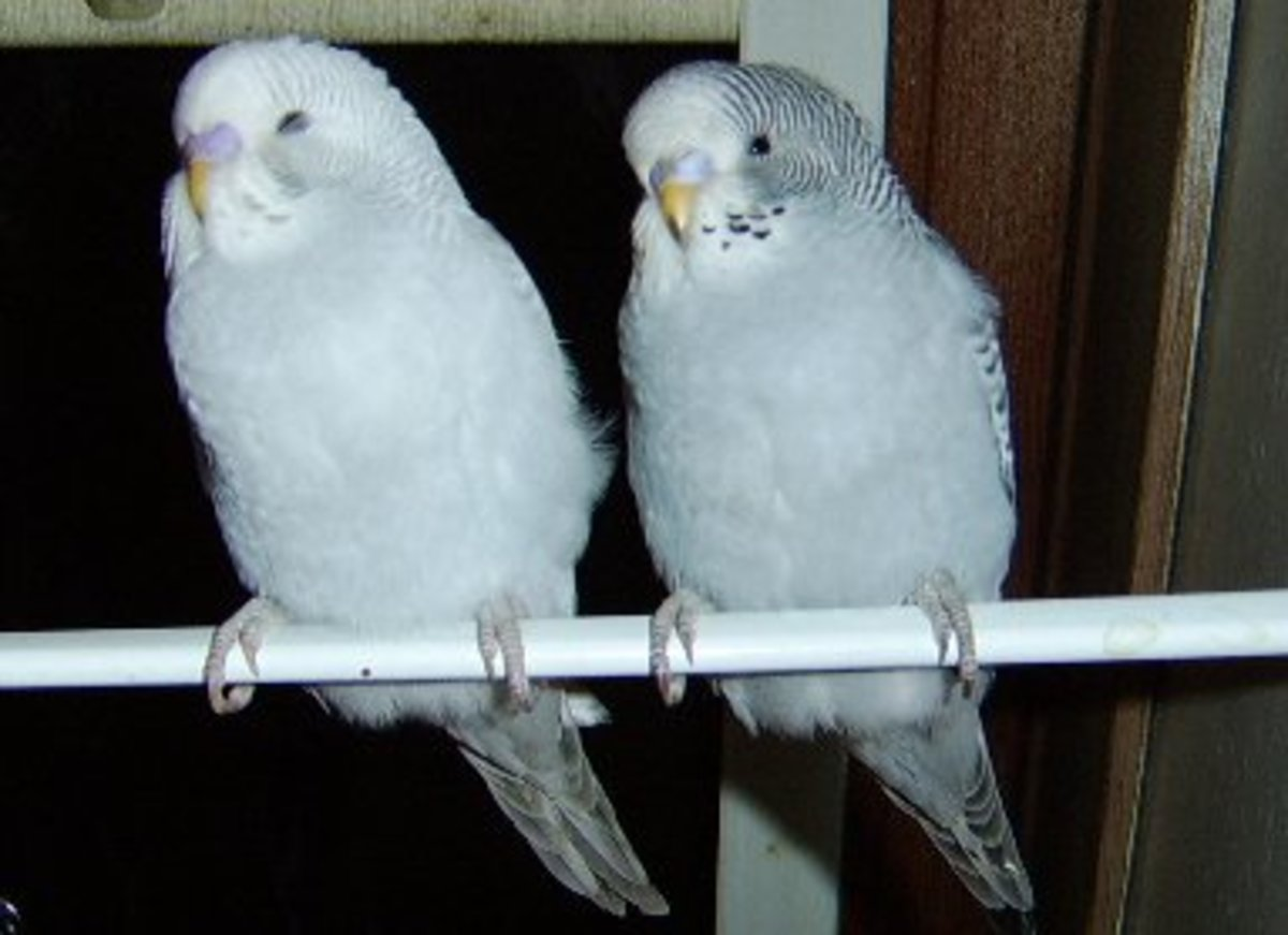 Two budgies. The one on the left is male, the one on the right is female.