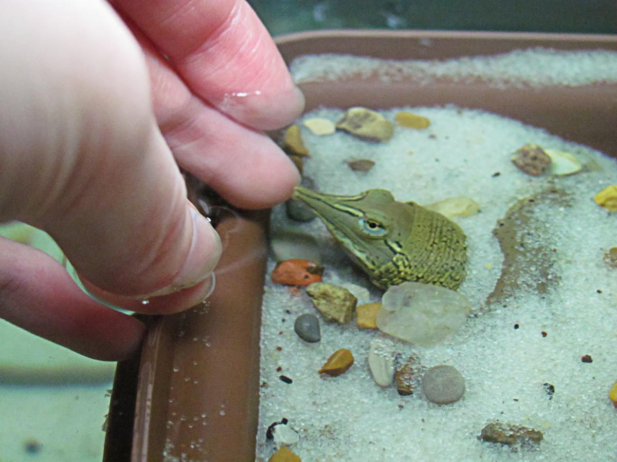 Pet Turtle Aquarium : Baby Soft Shell Turtle Aquarium Setup